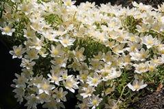 Białe clematis róże Obraz Royalty Free