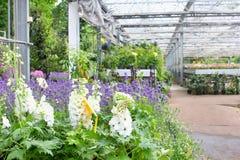Białe Delphinium rośliny ogrodowa szklarnia, holandie Obrazy Stock