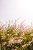 Białe dzikie trawy Fotografia Royalty Free