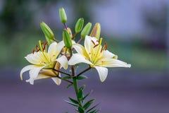 Białe eleganckie leluje na rozmytym stubarwnym background_ zdjęcia royalty free