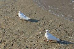 Białe gołąbki na morzu Obraz Royalty Free