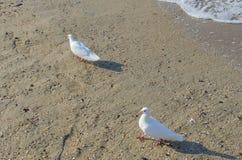Białe gołąbki na morzu Obraz Stock