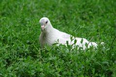 białe gołębie Obraz Royalty Free
