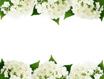 Białe hortensja kwiatów krawędzie Zdjęcie Stock