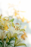 białe i żółte leluje na białym tle Obraz Stock