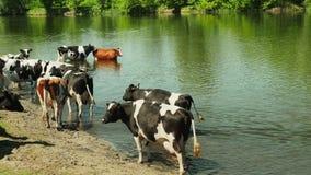 Białe i czarne krowy na rzece zdjęcie wideo