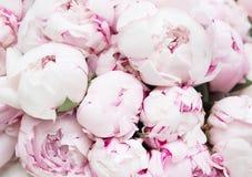 Białe i różowe peonie Tło, tapeta Zdjęcia Stock