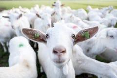 Białe kózki w zielonym łąkowym pobliskim gospodarstwie rolnym w holenderskiej prowincji Utrecht obrazy stock