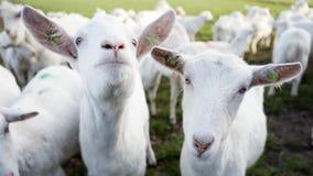Białe kózki w zielonym łąkowym pobliskim gospodarstwie rolnym w holenderskiej prowincji Utrecht zdjęcia royalty free