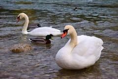 Białe kaczki na rzece i łabędź Fotografia Stock