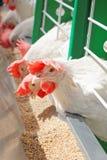Białe karmazynki na gospodarstwie rolnym z rzędu obraz royalty free
