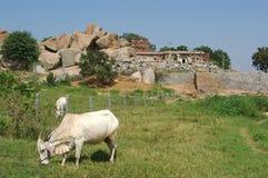 Białe krowy karmi na paśnikach w India Obrazy Royalty Free