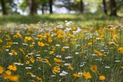 białe kwiaty żółty Obrazy Royalty Free