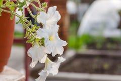 białe kwiaty Kwiat r w garnku Śnieżnobiały kwiat kwitnął Obrazy Royalty Free