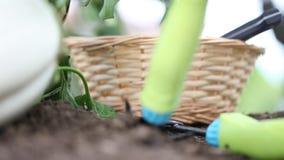 Białe oberżyny, ręki stawiają kosz w jarzynowym ogródzie zbiory