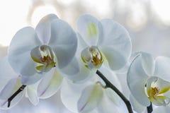 białe orchidee fotografia stock