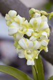 Białe orchidee. Zdjęcia Royalty Free