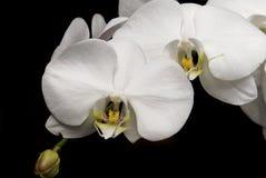 białe orchidee księżyca Fotografia Stock