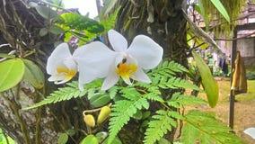 Białe orchidee kwitną kwiat wiosny tło w drzewie Fotografia Stock