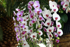 białe orchidee różowią Obrazy Royalty Free