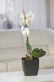 Białe orchidee w garnku przy wnętrzem Obrazy Stock