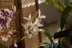 Białe orchidee z falistymi płatkami i purpurami graniczą zdjęcie royalty free