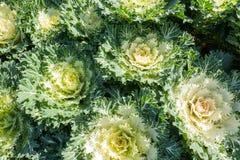 Białe Ornamentacyjne kapust rośliny Fotografia Royalty Free