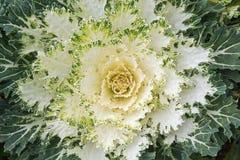 Białe Ornamentacyjne kapust rośliny w kwiatu garnku przy Doi Angkhang ro Zdjęcie Stock