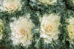 Białe Ornamentacyjne kapust rośliny w kwiatu garnku przy Doi Angkhang ro Zdjęcia Royalty Free