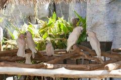 Białe papugi relaksują na drzewnym drewnie w zoo papugi, papuga sąd Fotografia Royalty Free