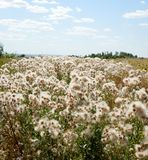 Białe puszyste rośliny w polu zdjęcia stock