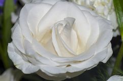 2 białe róże Zdjęcia Stock