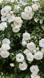 białe róże Obrazy Stock
