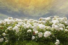 białe róże Zdjęcia Royalty Free