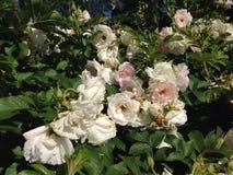 białe róże zdjęcie royalty free