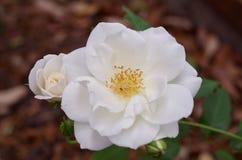 Białe róże kwitnie w San Antonio ogródzie Fotografia Royalty Free