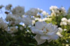 Białe róże w Bahai ogródzie Akko Zdjęcia Royalty Free