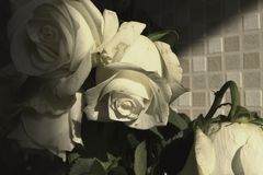 Białe róże w cieniu wyrażenie romans Ranek świt Baikal jezioro zdjęcie stock