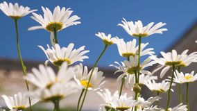 Białe stokrotki kiwa w wiatrze w lato parku przeciw niebieskiemu niebu na jasnym letnim dniu pi?kne kwiaty, bia?e zdjęcie wideo