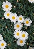 Białe stokrotki kwitnęli w wiośnie z zielonymi liśćmi Zdjęcie Royalty Free