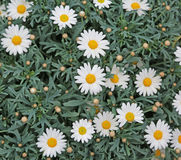 Białe stokrotki kwitnęli w wiośnie z zielonymi liśćmi Obraz Royalty Free