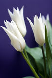 białe tulipany obraz royalty free