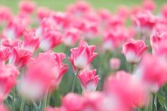 białe tulipany różowe Fotografia Royalty Free