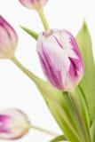 białe tulipany różowe Zdjęcie Royalty Free