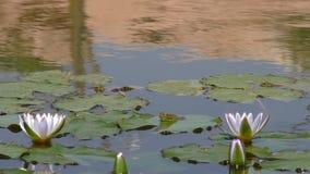Białe wodne leluje i żaby zbiory