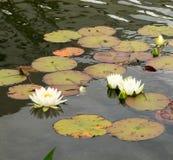 białe wodne leluje na wodnej powierzchni staw obrazy stock