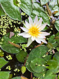 Białego Żółtego Lotosowego kwiatu i Lotosowego kwiatu rośliny Zdjęcia Royalty Free