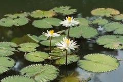 Białego Żółtego Lotosowego kwiatu i Lotosowego kwiatu rośliny Obraz Royalty Free