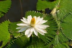 Białego Żółtego Lotosowego kwiatu i Lotosowego kwiatu rośliny Zdjęcie Royalty Free