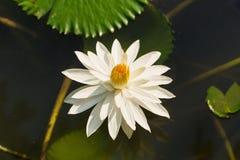Białego Żółtego Lotosowego kwiatu i Lotosowego kwiatu rośliny Fotografia Stock